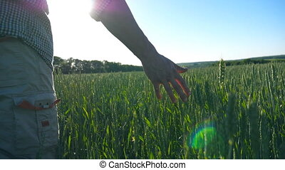 Male farmer hand moving over wheat growing on the plantation with sunlight at background. Young farmer walking through the cereal field and touching green ears of crop. Rear back view Slow motion