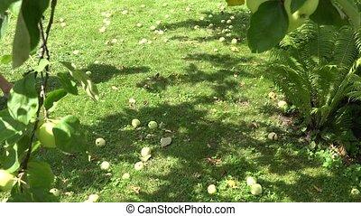 male farmer in shorts pick up windfall fruits in apple garden. 4K