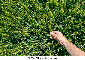 Male farmer in wheat field, personal point of view