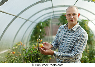 Male farmer looks tomatos plant in greenhouse
