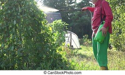 male farmer spray green bean plant in country garden sunset. 4K