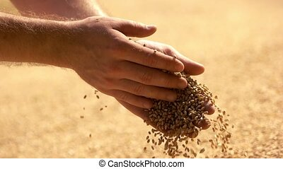 Male farmers hand grabbing and pouring grains. Agriculture,...