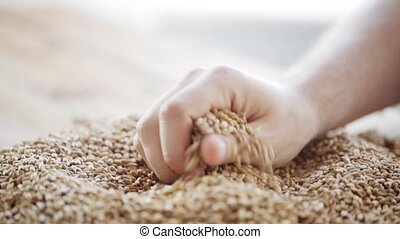 male farmers hand pouring malt or cereal grains