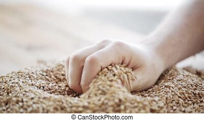 male farmers hand pouring malt or cereal grains -...
