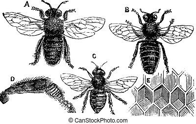 Male, female and neutral bee with leg close-up and honeycomb...