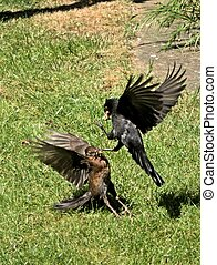 Male & Female Blackbirds fighting over food