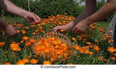 male female hand gather marigold garden. Medicine herb. 4K