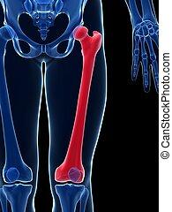 Male femur - 3d rendered illustration - the femur