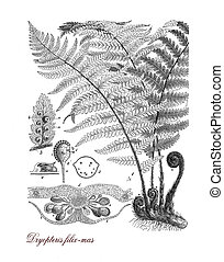 Male fern, botanical vintage engraving