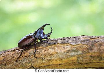 Male fighting beetle (rhinoceros beetle) on tree