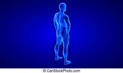 male fitness body transformation, rotation view - muscle mass building animation on blue background - 3D render