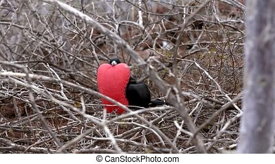 Male Frigate Bird With Expanded Red Pouch Surveys Surroundings.