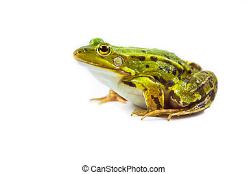 Male Frog on white