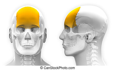 Male Frontal Bone Skull Anatomy - isolated on white