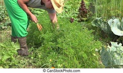 male gardener harvesting fresh organic carrots in vegetables garden. 4K