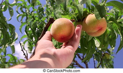 Male gardener picking peach from a tree in the orchard