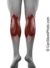 male GASTROCNEMIUS anatomy posterior view isolated