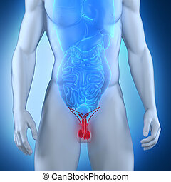 MAle genitals anatomy - Male genitals anatomy