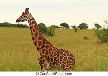 Male Giraffe Against Green Savannah