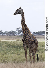 male giraffe standing on a grassy meadow on a background of trees in a dry season