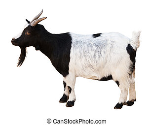 Male goat. Isolated over white