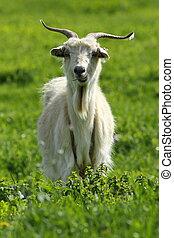 male goat on green lawn