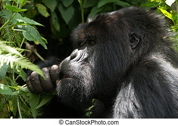 A male gorilla dappled with sunlight looks into the distance while eating a handful of leaves. All around his head and shoulders can be seen the dense green undergrowth of the forest.