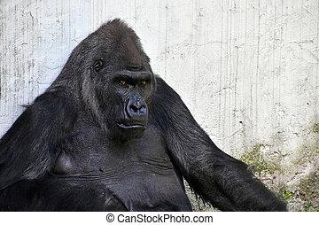 Male gorilla portrait looking at camera