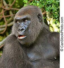 Male Gorilla Portrait