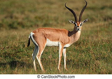 Grants gazelle - Male Grants gazelle (Nanger granti), Lake...