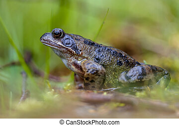 Male grass frog