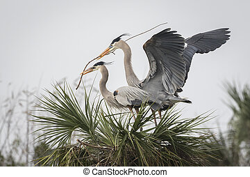 Male Great Blue Heron Bringing His Mate a Stick