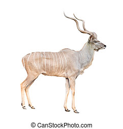 male greater kudu isolated