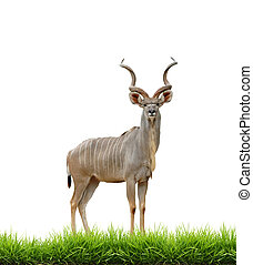 male greater kudu with green grass isolated