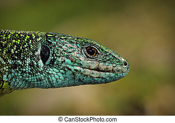 green lizard closeup of head - male green lizard closeup of...
