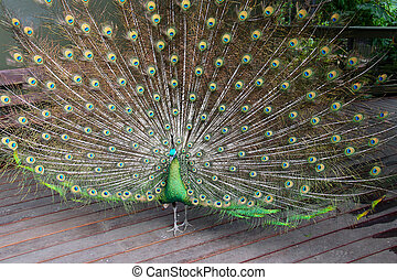 Male Green Peafowl (Peacock) - Pavo muticus - from Southeast Asia. Endangered Species