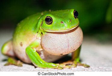 Male Green tree frog (Litoria caerulea) calling for females...