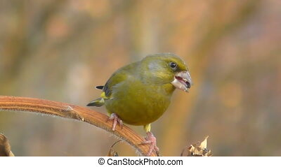 greenfinch - male greenfinch over a small branch eating...