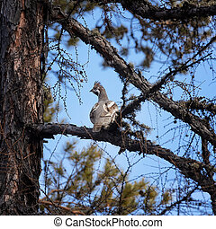 Male grouse in a tree