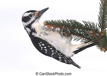 Male Hairy Woodpecker (Picoides villosus)