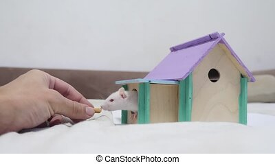 male hand feeding a rat .rat coming out of wooden house sniffing nose a hole cute video out of the burrow of a house and sniffs food in search of food . cute mouse albino rat pet goes to the house. white rat concept cute lifestyle.