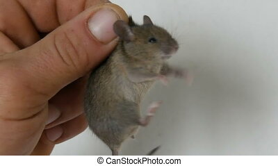 Male hand holding small house mouse caught in the skin. Gray...