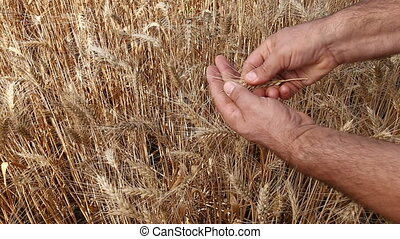 male hand inspecting wheat ear - Male hand holding and...