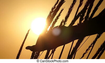 Male hand moves among wheat spikelets swaying at sunset in slo-mo