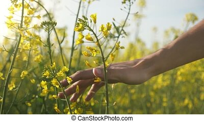 Male hand moving and touching blossoming rapeseed flowers in...