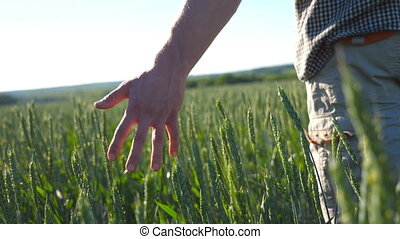 Male hand moving over wheat growing on the meadow on sunny summer day. Young farmer walking through the cereal field and touching green ears of crop. Agriculture concept. Rear back view Close up