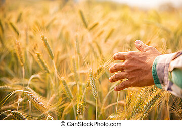 Male hand touching a golden wheat ear in the wheat field, sunset light, flare light.