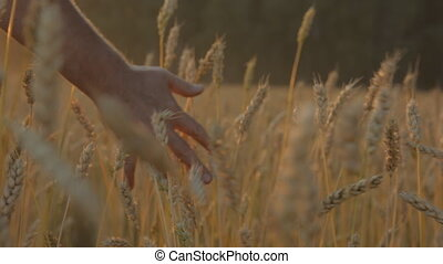 Male hand touching wheat in autumn field.