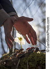 Male hands making a protective gesture over white Hellebore flower