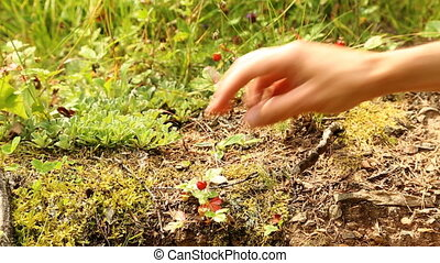 Male hands picking wild strawberries in the forest